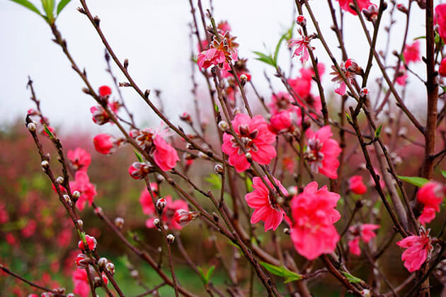 Peach blossom a tree should not miss in Tet holiday