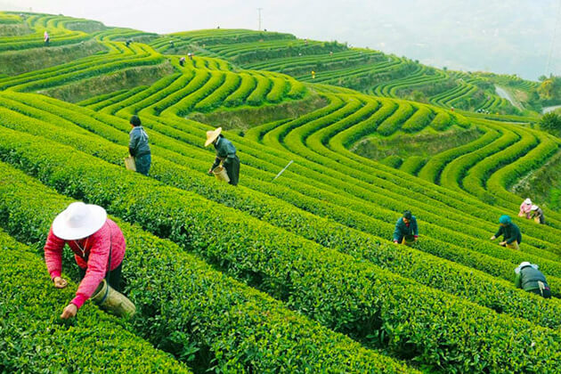 students explore Meijiawu Tea Village in China school tour package
